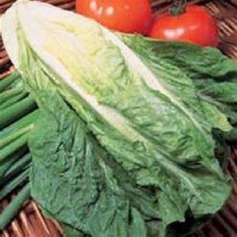 Jual Bibit Sayur Asparagus bibit benih selada lobjoits green cos jual tanaman