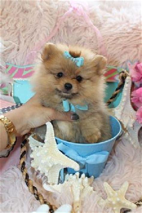 baby teacup pomeranians for sale teacup pomeranians pomeranian puppies for sale teacup puppies