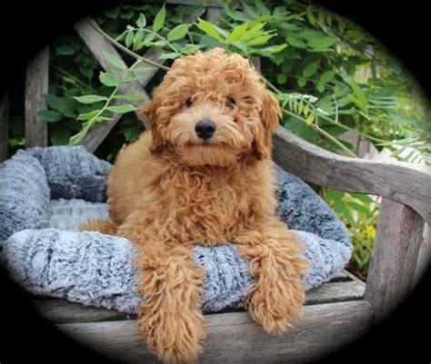 mini doodle wisconsin wisconsin miniature goldendoodle breeder