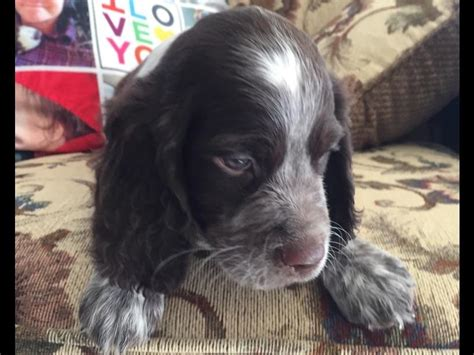 springer spaniel puppies for sale in mn springer spaniel puppies for sale mn breeds picture
