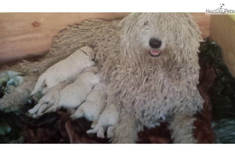 komondor puppies for sale near me komondor puppy for sale near los angeles california 76dcc6cb 1e51