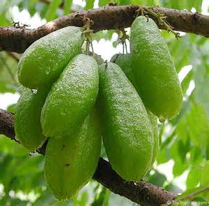 Fungal Diseases In Plants List - averrhoa bilimbi cucumber tree toptropicals com