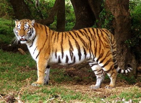 tiger rubber st standing tiger ian vosloo flickr