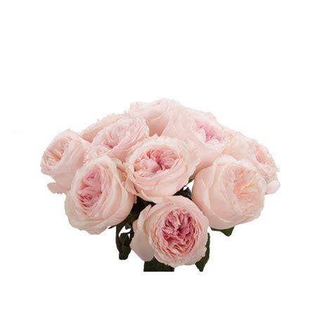 valentines day pale pink david austin garden roses
