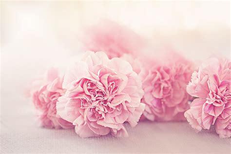 Rosa Blumen by Darmo Obraz Kwiaty Goździki Płatk 243 W R 243 żowy Gratis