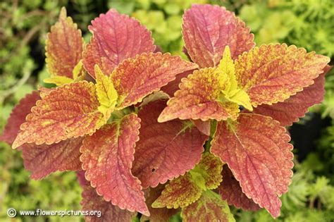 coleus picture plant pictures 9491