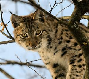 lynx parc animalier des pyr 233 n 233 es
