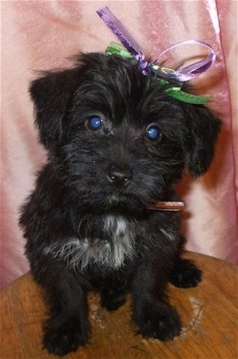 black yorkie puppy scorkie breed information and pictures