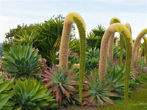 how to grow and care for a fox tail agave agave attenuata world of succulents
