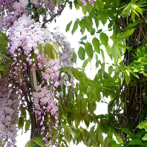 lilac climbing plant wisteria sinensis blue wisteria pleached and