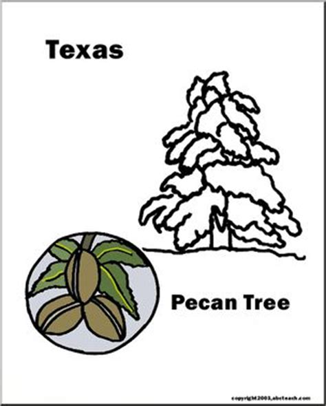 coloring page pecan tree texas state tree pecan abcteach