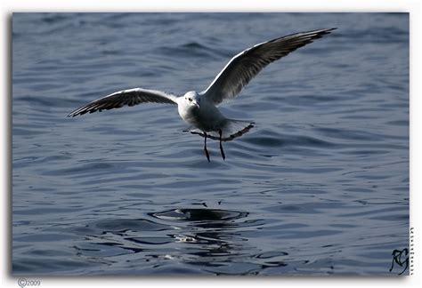 gabbiano uccelli gabbiano foto immagini animali uccelli allo stato