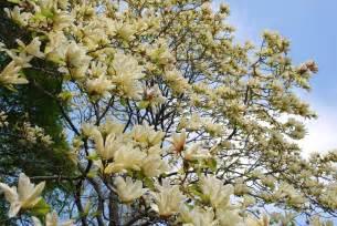 mille fiori favoriti magnolia trees in the brooklyn