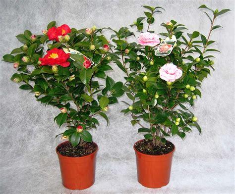 piante a cespuglio fiorite piante da fiore iberis sempervirens cespuglio fiorito