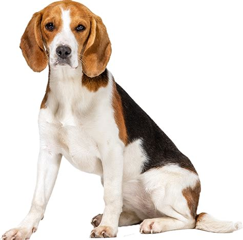 best food for beagles beagle gzsihai