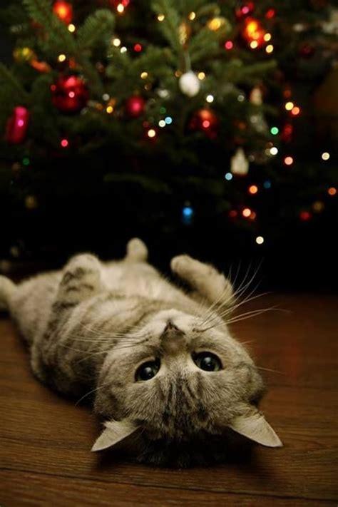 christmas lights cat cats pinterest