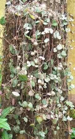 string  hearts rosary vine sweetheart vine indoor
