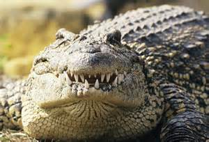 do crocodiles really shed tears what can i learn today