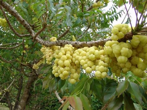 guyana fruit trees guyanese gooseberries as opposed to the cdn one which