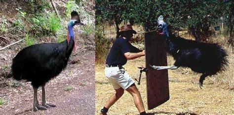 meet the secretary bird aka the modern day velociraptor