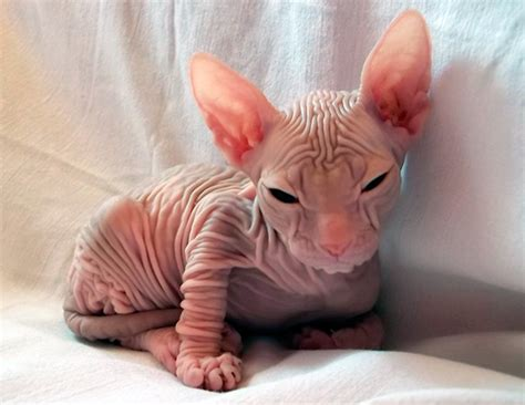 hairless breeds understanding the uniqueness of hairless cat breeds in choosing your pet