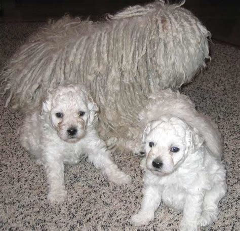 puli puppies for sale puli puppies for sale in oregon or black white pulik for sale