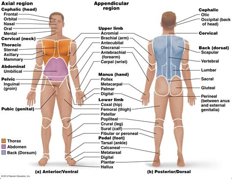 sections of the body anatomy anatomical position labeled human anatomy diagram