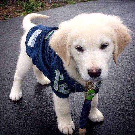 golden retriever puppy seattle a seahawks 12th jersey and a golden retriever puppy i m dying