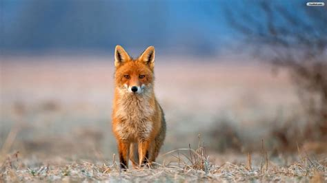 Fox Wallpapers, High Quality Pictures of Fox in Stunning