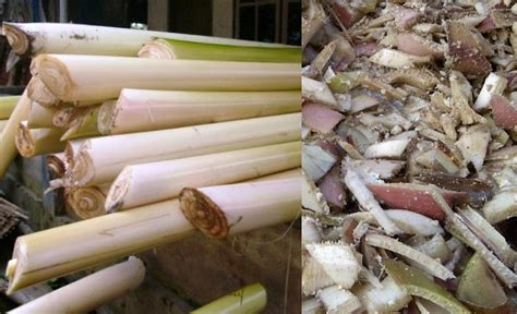 Pakan Ternak Hasil Fermentasi cara membuat pakan fermentasi batang pisang untuk ternak
