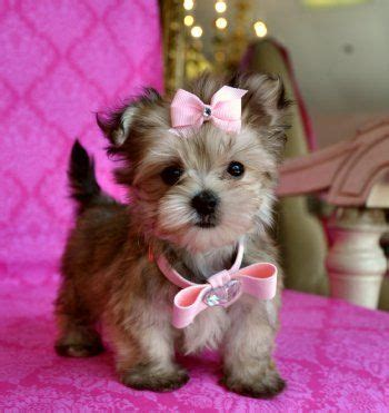 how to make yorkie hair bows teacup yorkie hair bows breeds picture