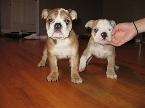 puppies for sale new orleans bulldog puppies for adoption for sale in los angeles breeds picture