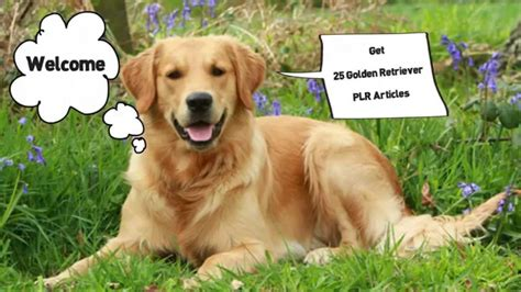 golden retriever articles 25 golden retriever plr articles videoscribe