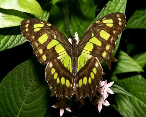 brown and green butterfly pixdaus