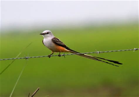 lost in birding the harbinger of spring texas 30 march