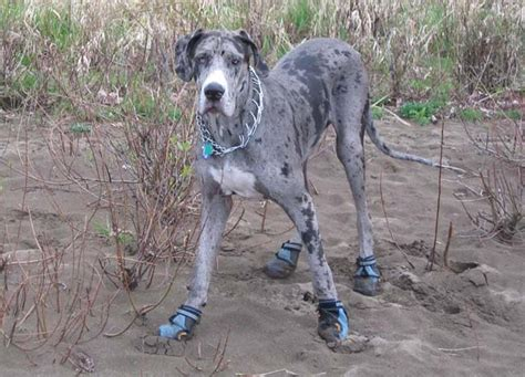mastiff great dane mix puppies for sale great dane mastiff mix puppies for sale the universe of animals