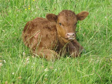 baby bull calf cow pictures cow pictures baby calf