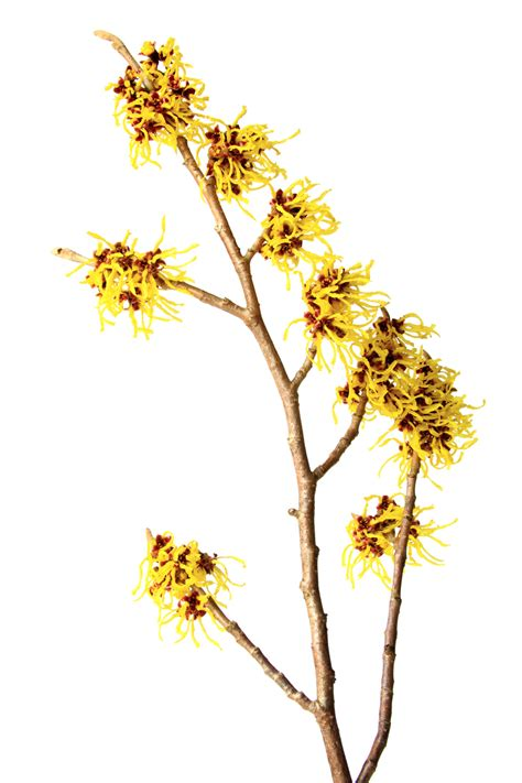 witch hazel for dogs the itch fix heal your s itchy allergy symptoms dogs naturally magazine