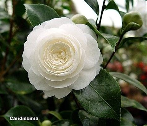 Gardenia Japonica 365 Best Images About Camelias Gardenias On