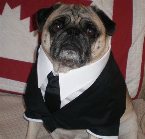 frank the pug costume 17 best images about canines on indiana jones for dogs and i will win