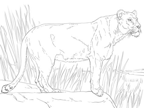 Lioness Coloring Pages standing lioness coloring page supercoloring
