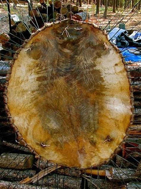 Deer Tanned Cowhide - how to a beaver hide with the hair on sustainable
