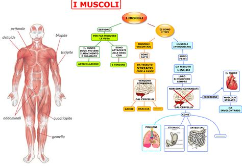 alimentazione per i muscoli muscoli