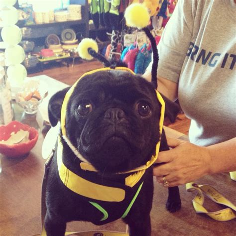 pug bumblebee costume insta friday 58 this pug