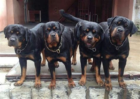 tough boy names for rottweilers 198 best rottweilers rock images on rottweilers rottweiler and doggies