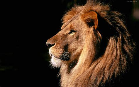 imagenes de leones full hd fondos de pantalla animales salvajes wallpapers hd