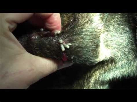 what do puppy worms look like dogs that has worms pictures to pin on pinsdaddy