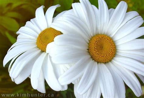 flower picture daisy flower 3 world s amazing pictures funny pictures tourist places
