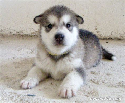Puppy Alaskan Malamute alaskan malamute puppies wallpaper pictures of animals 2016