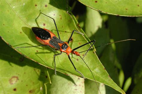 a bug of a different color the benefits assassin bug spreading deadly disease
